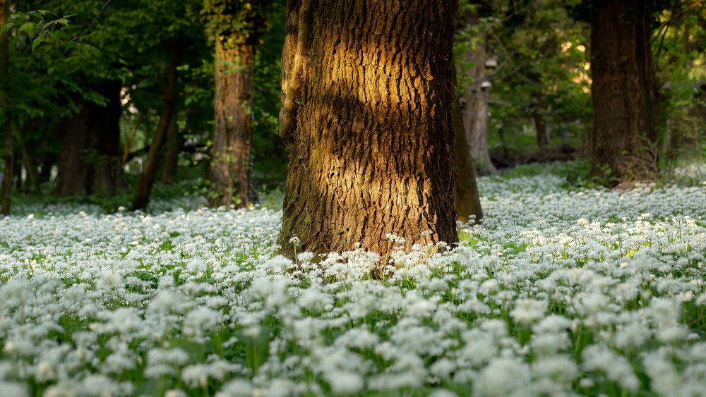 Eating in Season This March - Cooking with Wild Garlic